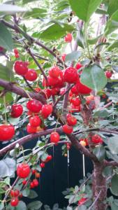 cherry photo-edited2